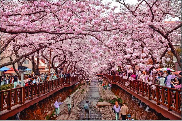 Image of people viewing cherry blossoms